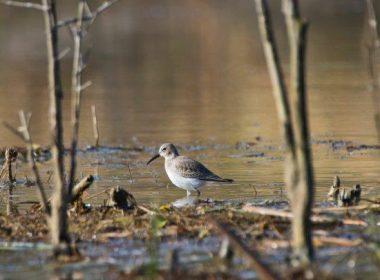(14) Cemex Reserve - Spotted Sandpiper