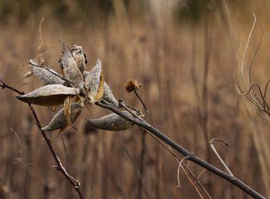 James P. Amon Biodiversity Reserve - Prairie_sagewort_fall_color