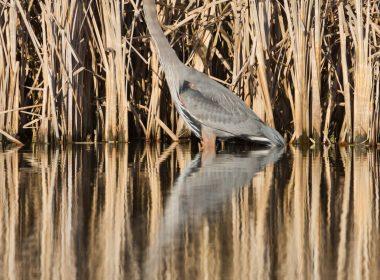 Great Blue Heron at Beaver Creek Wetlands Nature Reserve