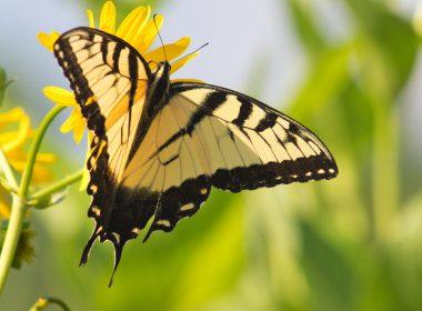 Beaver Creek Wildlife Area - Eastern Tiger Swallowtail Butterfly ETSB09