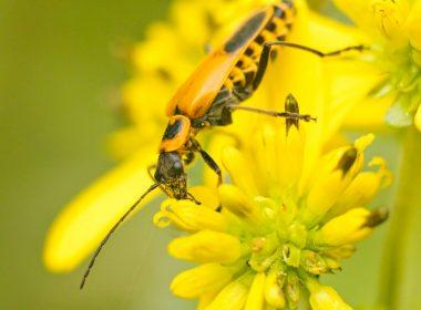 Beaver Creek Wildlife Area - Goldenrod Soldier Beetle