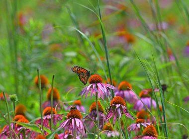 Beaver Creek Wildlife Area - Monarch Huff Pr Tom H