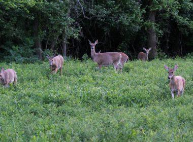 Creekside_Reserve_whitetail_deer_herd