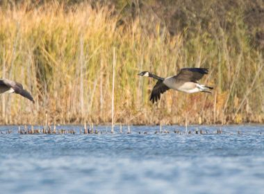 FEATURED_Cemex_geese_flying_over_water