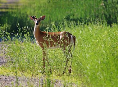 IMG_3193 whitetail deer at Cemex Reserve 14 June