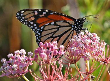 Koogler Wetland/Prairie Reserve - Monarch on swamp milkweed - KWPR - Abel