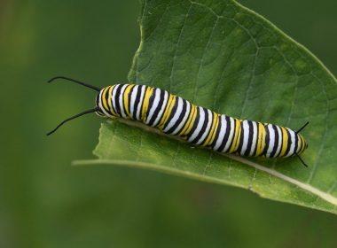 Beaver Creek Wildlife Area - Monarch_butterfly_caterpillar