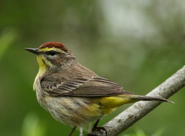 Phillips Park Palm Warbler May 5, 2018